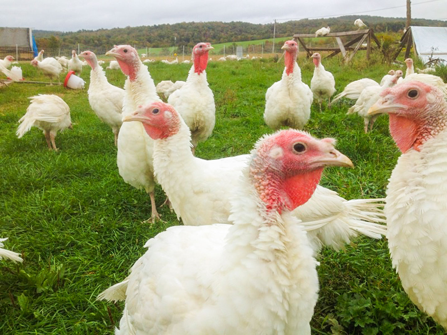 Free range organic turkeys from Halal Pastures. [Photo: Halal Pastures]